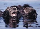 Picture of Yelling Otter
